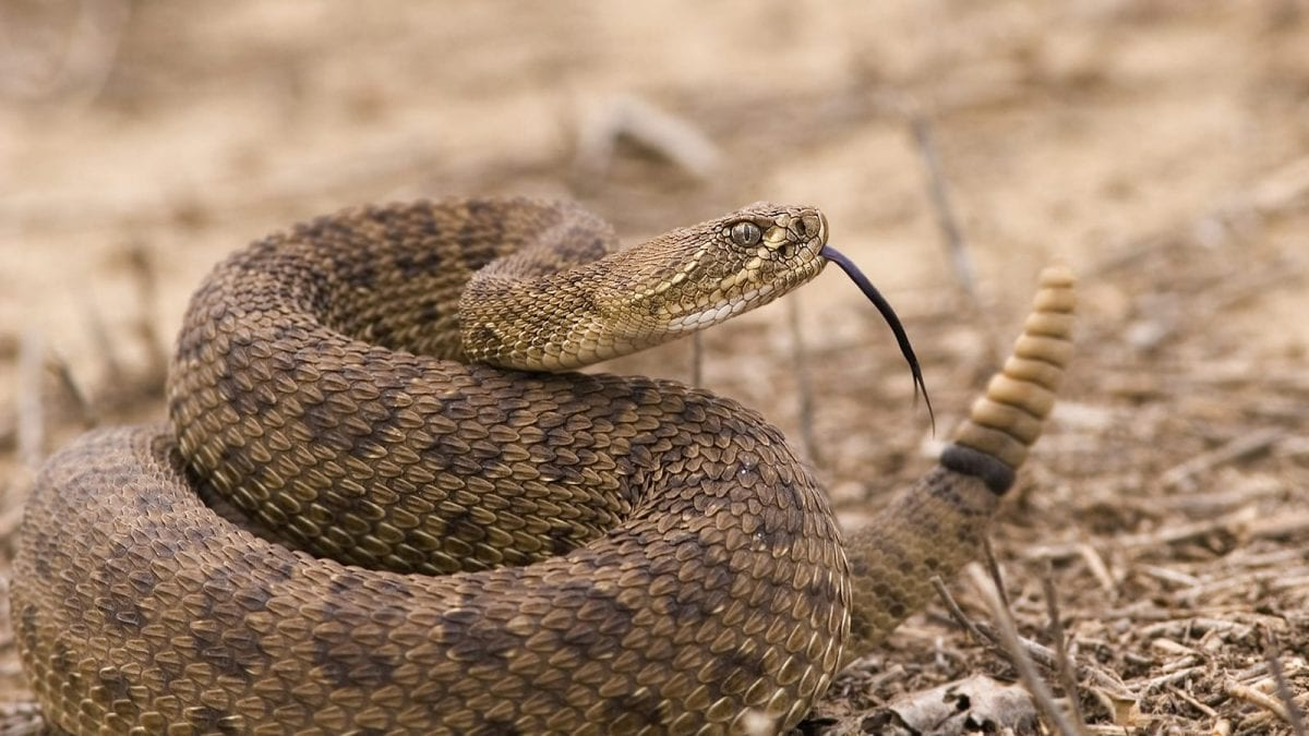 Rattlesnake. Photo by National Geographic.