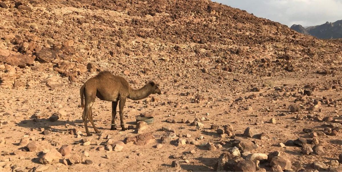 Camel on the Jordan Trail