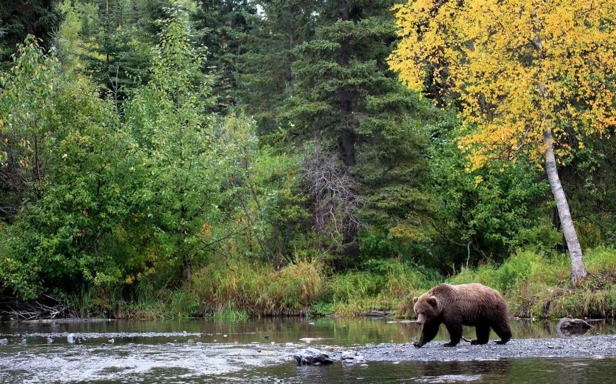Bear comes, bear goes
