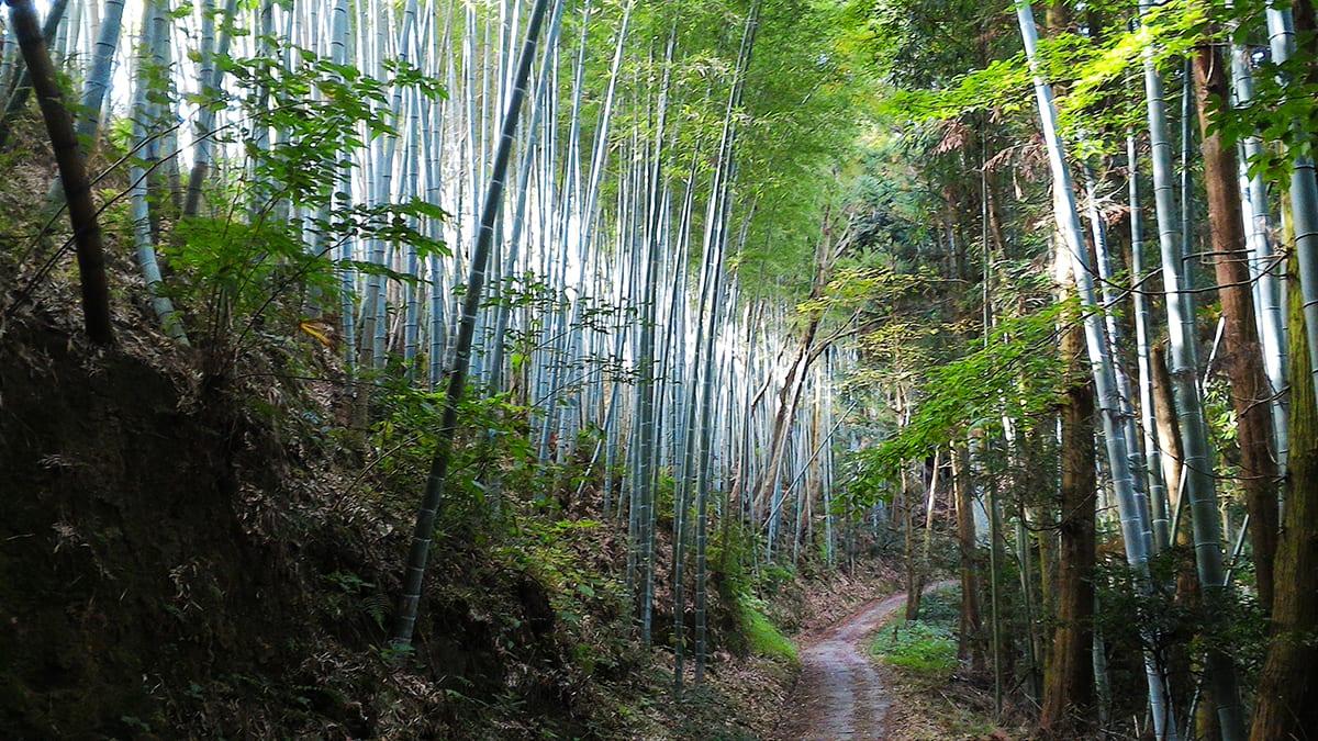 Koyasan Bamboo Forest
