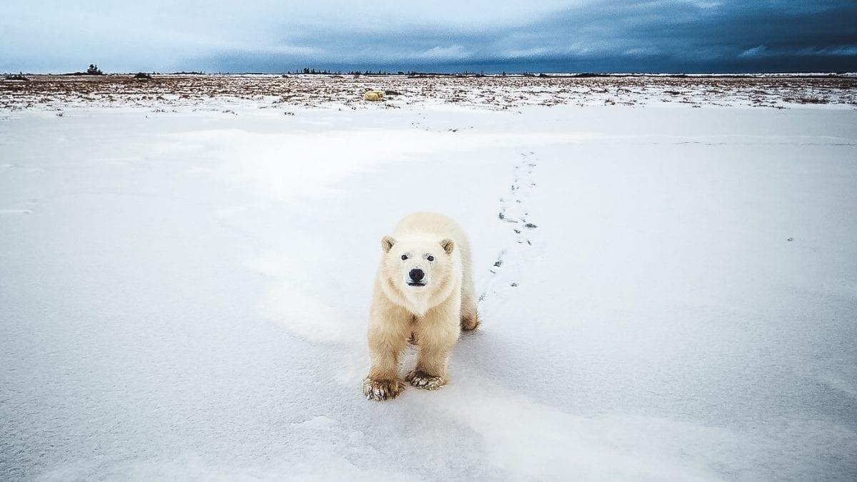 What to do when you encounter a polar bear?